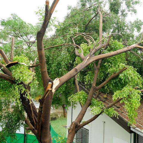 wind damaged tree falling on roof